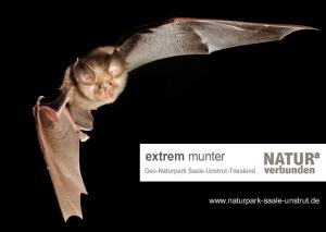 "extrem munter kleine hufeisennase im flug 300x213 ""extrem munter""   Fledermäuse im Geo Naturpark Saale Unstrut Triasland"