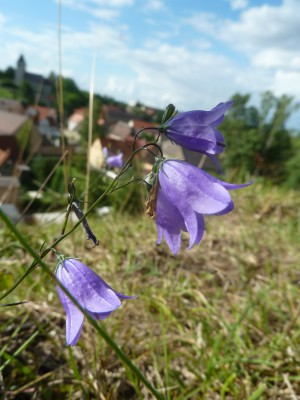 glockenblume kohlberg