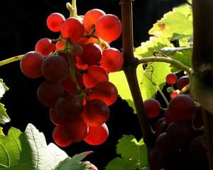 Weinlese im Herzoglichen Weinberg