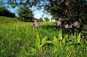 knabenkraut2 300x199 Die Orchideenzeit kommt ...