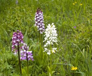 orchideen - typisch_  Knaben, Helm Bastard Albino