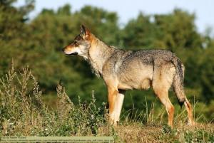 """wolf Canis lupus von Malene Thyssen wikimedia 300x201 Infoabend """"Wolf"""" in Burgscheidungen"""