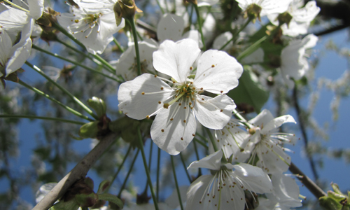 20170512 Blüten Innenteil 10.06.2017/11.06.2017: Tag der Gärten und Parks in Drolshagen