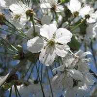 Blüten/Foto: Kerstin Berens, NPSR