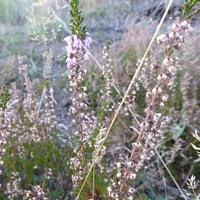 Die blühende Besenheide taucht die Landschaft in ein violettes Farbenmeer (Foto: Naturpark Sauerland Rothaargebirge e.V.)
