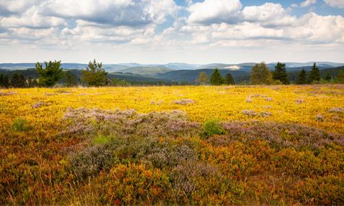 Eine traumhafte Heidelandschaft mit grandiosen Fernblicken bietet sich rund um den Kahlen Asten Foto Tourismus NRW e.V Hurra, hurra die Heide blüht