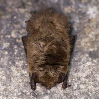 Fledermäuse aus der Nähe kennenlernen/Foto: Kerstin Berens, Naturpark Sauerland-Rothaargebirge