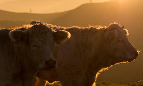 Foto Innenteil Kühe 07.07.2017: Milchwirtschaft und Landschaftspflege auf dem Lahnhof