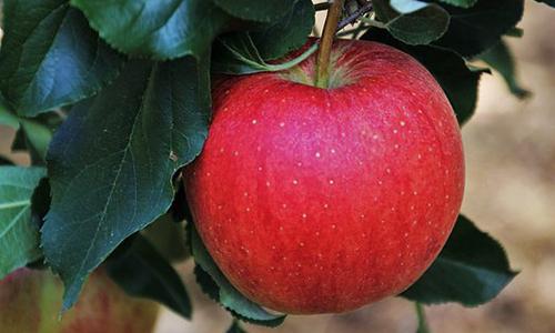 Foto Innenteil apfel 21. Oktober 2018: 23. Sauerländer Apfelfest in Werdohl