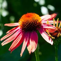 Echinacea - umgangssprachlich als Sonnenhut bekannt - wächst als ausdauernde Pflanze (Foto: pixabay)