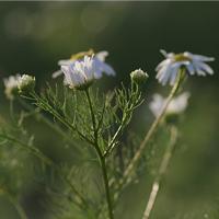 Kamille am Wegesrand/Foto: Pixabay