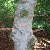 Phantasievolle Baumgesichter als Kunstwerke wurden im Wald geschaffen (Foto: Naturpark Sauerland Rothaargebirge e.V.)