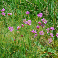 Die Galmeigrasnelke/Foto: Christina Ermert, Naturpark Sauerland Rothaargebirge