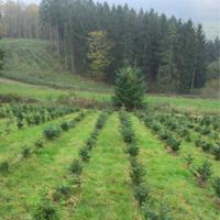Impressionen einer konventionellen Weihnachtsbaumkultur/Foto: Bernd Strotkemper, Naturpark Sauerland Rothaargebirge