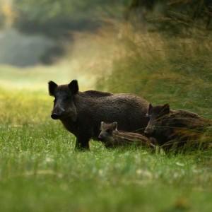 Wildschweine © Erich Tomschi