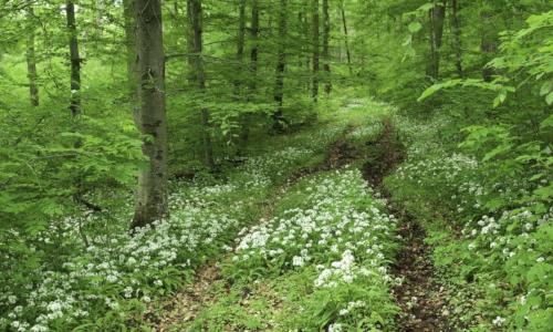 Bärlauch Werner Schal 500 300 Aromatischer Frühjahrsgenuss aus dem Schönbuch
