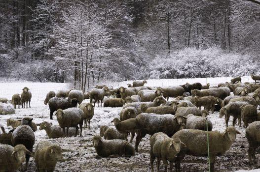 DVD02.1.7 Schafherde im Schnee350 Lammkeule mal anders
