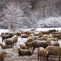 Schafherde im Schnee © Werner Schaal