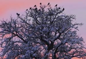 Krähen in verschneitem Baum © Werner Schaal