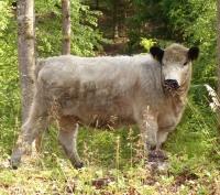 Galloway-Rind auf der Waldweide unter Habitatbaum. Mehr Waldökologie geht nicht! © UFB Böblingen