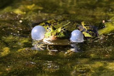Wasserfrosch 2017 13185 Kopie Foto des Monats: ein Wasserfrosch aus dem Schönbuch