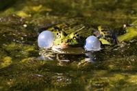 Wasserfrosch © Erich Tomschi