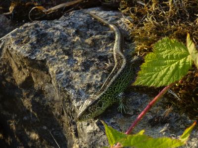 Zauneidechse RebeccaHurlebaus 500x300 Naturschutz im Garten