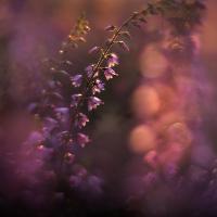 <Traum in lila – Heideblüte in Naturparken