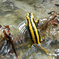 Salamander im Bach