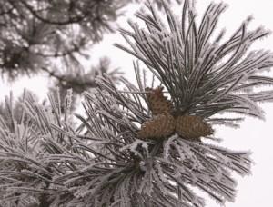 141225 koehler 300x228 Naturpark aktiv   Am Weihnachtsbaume die Lichter brennen…