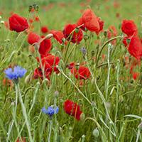 Essbare Blüten erkennen und verkosten