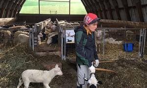 Prächtiger Nachwuchs: die Lämmer auf dem Schafhof Jauernik