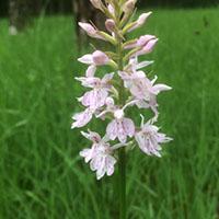 Märchenhafte Orchideenwiesen
