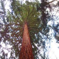 Höchster Mammutbaum Deutschlands