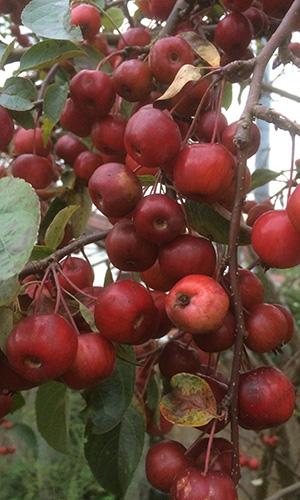 18.07.01 NP aktiv  Klinger Naturpark aktiv: Apfel ist nicht gleich Apfel
