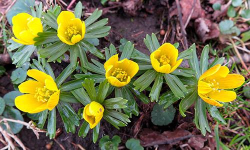 180313 BILD Winterling Kuehnle Frühling im Naturpark