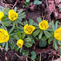 Frühlingsbote Winterling