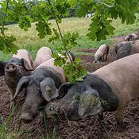 Schwäbisch-Hällischen Landschwein