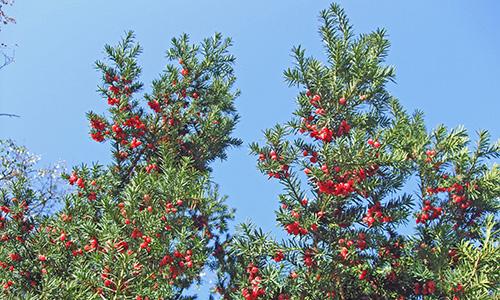 190210 NPaktiv Elsaesser Naturpark…erzählt! Nicht alle Bäume, die Nadeln haben, sind Tannen