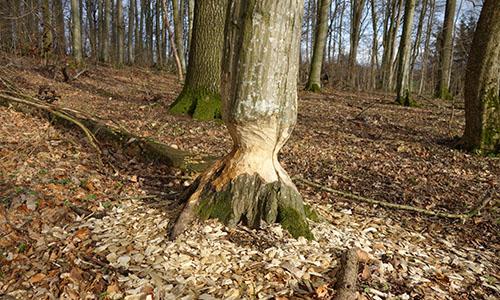 190316 NPF Biber 33 Rückkehr der Biber im Naturpark Schwäbisch Fränkischer Wald