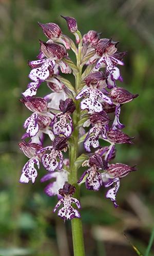 190620 NPaktiv Klinger Naturpark…blüht! Orchideenzauber