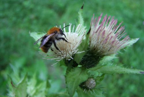 19 NPSFW Bluehender NP Wildbiene Newsletter Prominent 500 Wildbienen