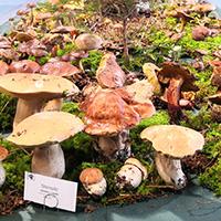 Große Pilzausstellung