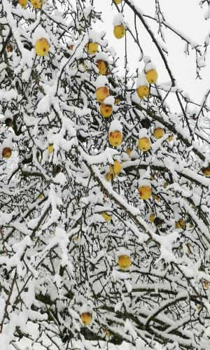 210103 Apfelbaum Winter Drixler Newsletter Streuobst – Apfel ist nicht gleich Apfel