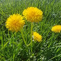 Naturpark aktiv 2021 - Essbare Blüten sammeln, verarbeiten und verkosten