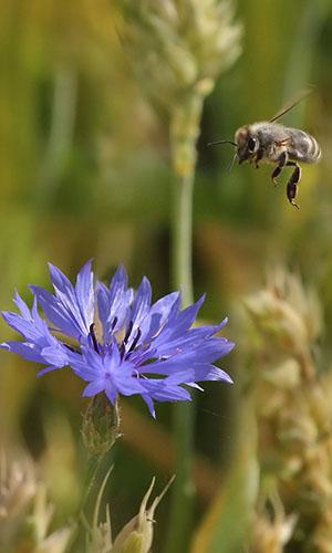 500 17 Bienenjahr Fotoseite VDN Ulrike Sobick  Einblicke in die Welt der Honigbienen