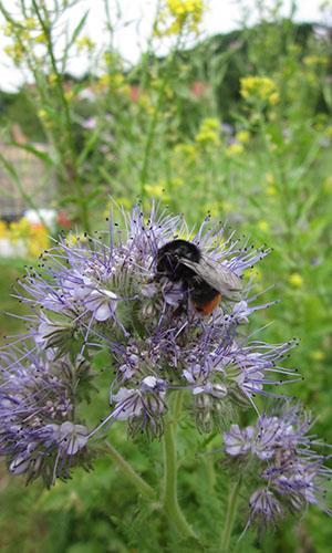 500 17 Bienenjahr Fotoseite Wildbiene Stefan Klett Bienen   fleissige Helferinnen in der Landwirtschaft