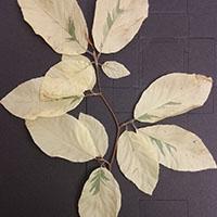 Albino-Buche 2