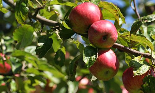 Apfel1532 Besonders lecker im Herbst: Apfelbrot