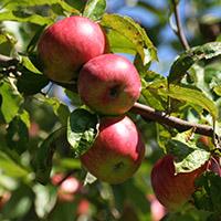 Besonders lecker im Herbst: Apfelbrot